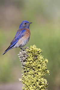 Western Bluebird - Male - OR, USA
