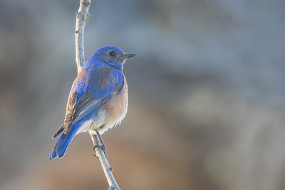 Western Bluebird - Los Altos, CA, USA