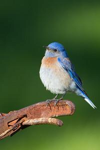 Western Bluebird - Garin Regional Park, Hayward, CA, USA