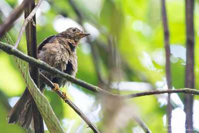 Yellow-legged Thrush - Female - Record - Gilpin Trace, Tobago