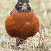 American robin: Turdus migratorius, Beacon Hill
