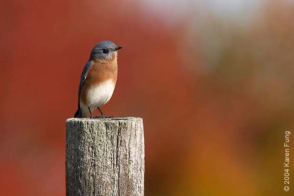 Eastern Bluebird at the Ipswich River Wildlife Sanctuary, Massachusetts