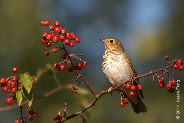8 October: Swainson's Thrush in Central Park