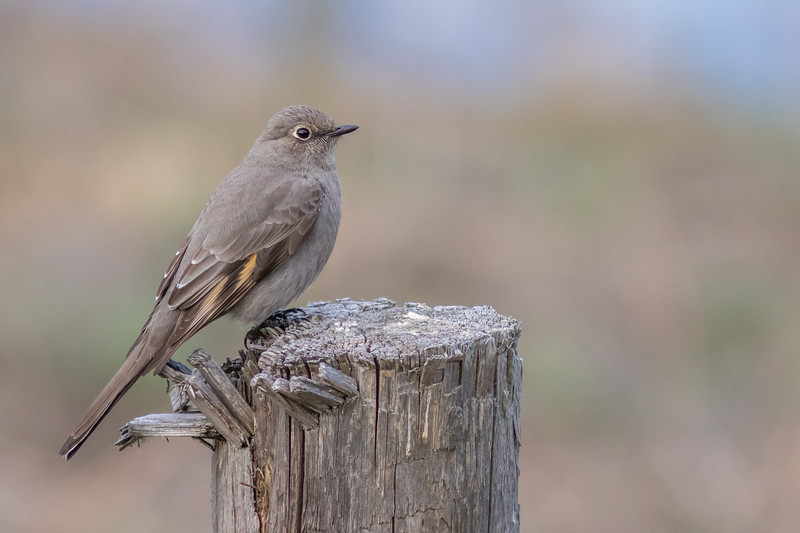 Townsend's Solitaire, Mahoney Lake Ecological Reserve, British Columbia
