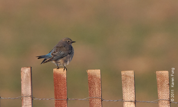 30 December: Mountain Bluebird in Calverton, NY; a rare visitor from the west.  Photographed in late afternoon light, and heavily cropped.