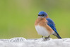 Eastern Bluebird (Sialia sailis)