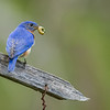 Eastern Bluebird, Great Smoky Mountains National Park, Tennessee