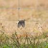 Milton Road, northern wheatear: Oenanthe oenanthe