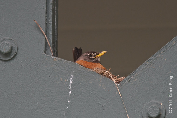12 June: Robin nesting at the entrance to the Visitors Center at Rockefeller SP