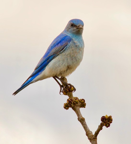 Thrush-Mountain Bluebird