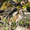 hermit thrush: Catharus guttatus, Mud Lake