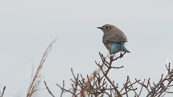 24 December: Mountain Bluebird at Robert Moses SP