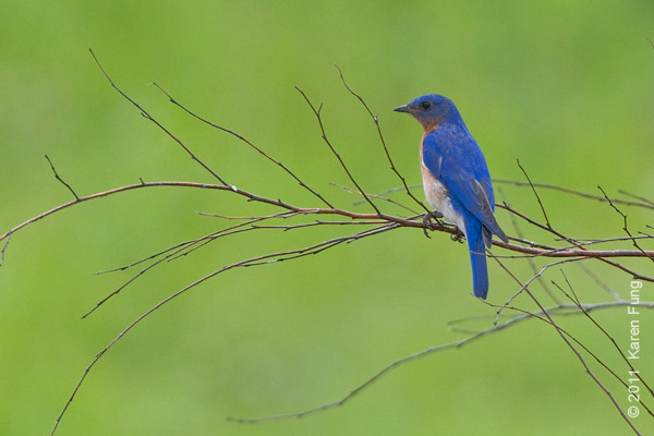 29 May: Eastern Bluebird in Orange County