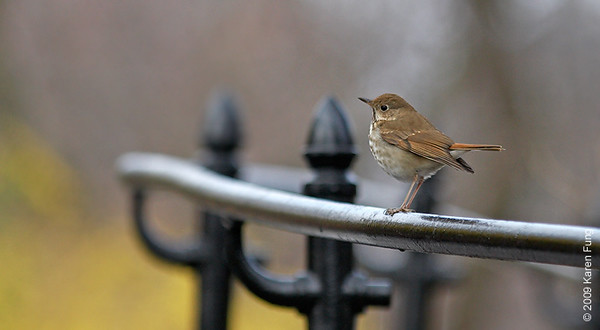 April 7th:  A very perky Hermit Thrush in Central Park (Belvedere Castle)