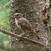 Algonquin Provincial Park, hermit thrush: Catharus guttatus, juvenal plumage