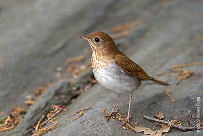 May 8th:  Veery in Central Park
