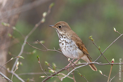 Hermit Thrush in Central Park