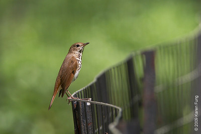 April 28th: Hermit Thrush in Central Park