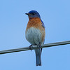 Bowsville South Airport, eastern bluebird: Sialia sialis