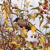 American robin: Turdus migratorius, Fletcher Gardens