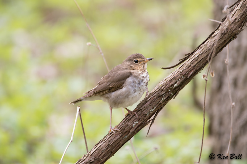 Point Pelee NP--Visitor Center, swainson's thrush: Catharus ustulatus