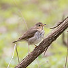 Point Pelee NP--Visitor Center, swainson's thrush: Catharus ustulatusnote: bold buffy spectacles
