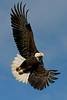 Bald Eagle  - March 2006 - Homer, AK