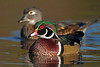 Wood Ducks - October 2011 - Ohio
