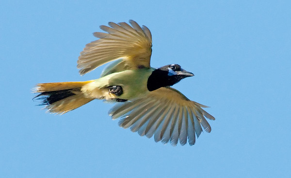 Green Jay (banded escapee)