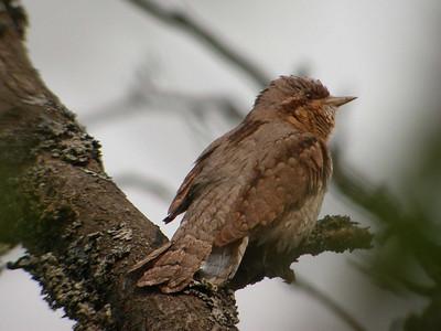Tikat (Woodpeckers)