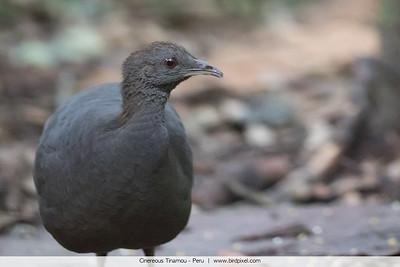 Cinereous Tinamou - Peru
