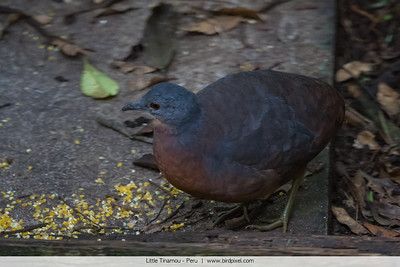 Little Tinamou - Peru