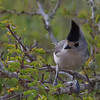 Black Crested Titmouse (b2505)