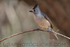 Black Crested Titmouse (b2502)