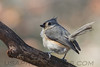 Tufted Titmouse (b2511)