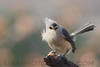 Tufted Titmouse (b2513)