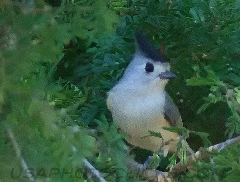 Black Crested Titmouse (b2501)