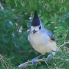 Black Crested Titmouse (b2504)