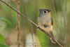 Tufted Titmouse (b2512)