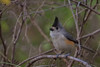 Black Crested Titmouse (b2503)