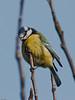 Blue Tit (Cyanistes caeruleus). Copyright 2009 Peter Drury