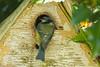 01 May 2015 Green Woodpecker