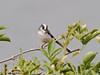 Long-tailed Tit (Aegithalos caudatus). Copyright Peter Drury 2009