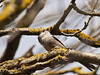 Long-tailed Tit (Aegithalos caudatus). Copyright Peter Drury 2010