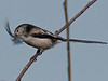 Long-tailed Tit (Aegithalos caudatus). Copyright 2009 Peter Drury<br /> Wisley, Surrey