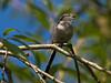 Long-tailed Tit (Aegithalos caudatus). Copyright Peter Drury 2010