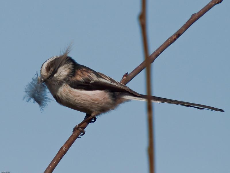 Long-tailed Tit (Aegithalos caudatus). Copyright 2009 Peter Drury<br /> Wisley, Surrey