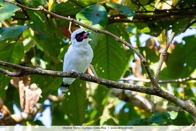 Masked Tityra - Cartago, Costa Rica