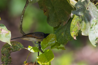 Rose-throated Becard - Record - Hidden Valley, Belize