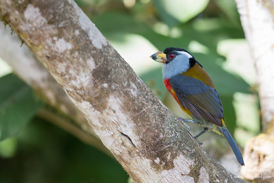 Toucan Barbet - Mindo, Ecuador